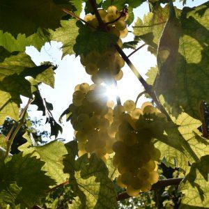Sonnenlicht im Weinstock